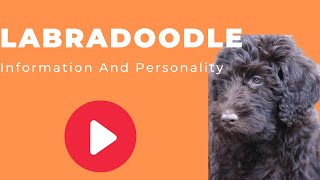 All Dogs Breeds  Labradoodle Dog Breed Information And Personality