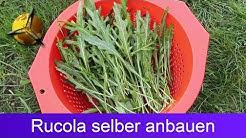 Rucola / Wilde Rauke selber pflanzen und ernten