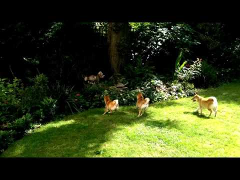 Shibas hunting as a pack