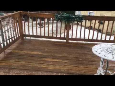 Silky Terrier Watching Squirrels
