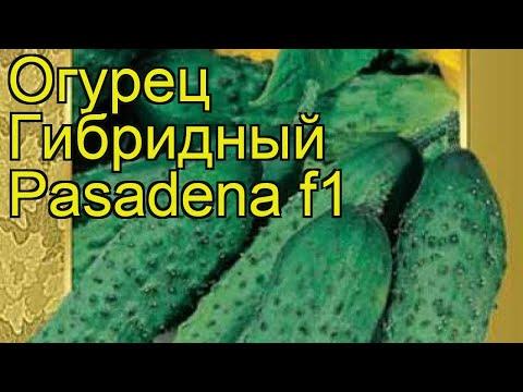 Огурец гибридный Пасадена f1. Краткий обзор, описание характеристик, где купить семена Pasadena f1