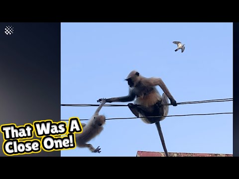 Monkey risks life to rescue her baby stranded on power lines