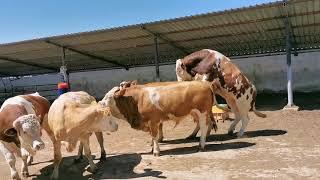 Bulls & Cows Best Farming - New Bulls Meet Cows First Time #17