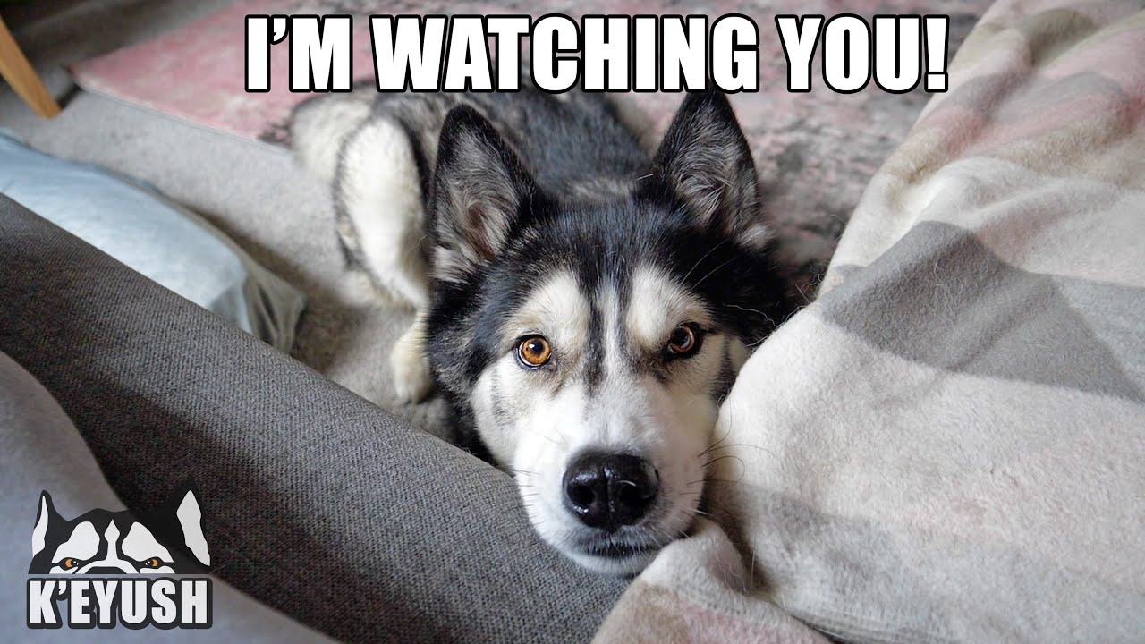 Trying To Ignore My Husky! He Makes it Impossible!