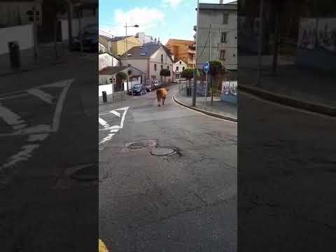 Una vaca deambula por las calles de Burela