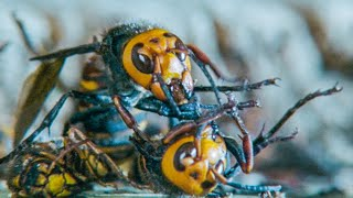 Giant Hornets Massacre Yellow Hornets | Buddha Bees and The Giant Hornet Queen | BBC Earth