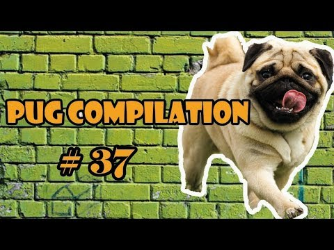 Pug Compilation 37 - Funny Dogs but only Pug Videos | Instapugs