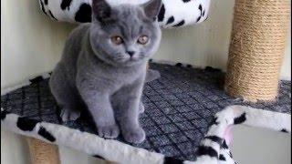 Голубая британская кошечка FRAYA. Продажа котят