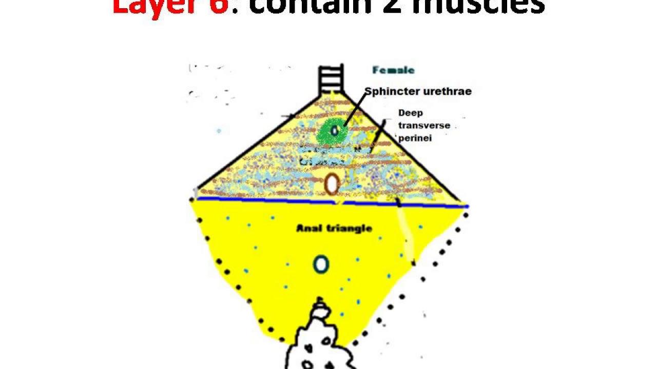 Urogenital triangle &a...