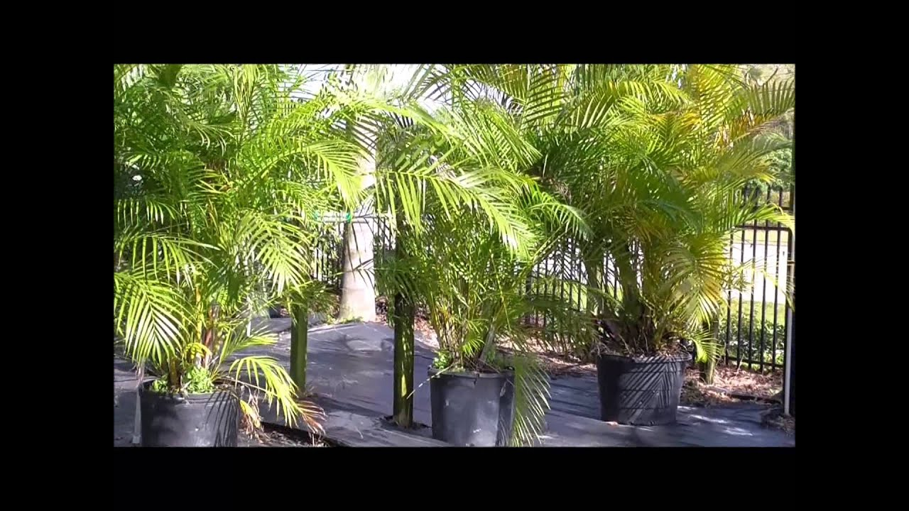 Butterfly Palm Madagascar Palm Areca Palm Chrysalidocarpus How To Grow The Areca Palm A Madagascar Strong Superstar Palm Variety For Your Yard