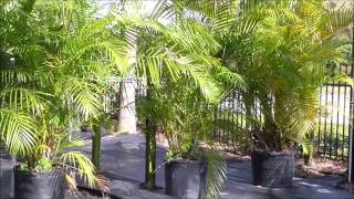 How to Grow the Areca Palm - A Madagascar STRONG Superstar Palm Variety for Your Yard