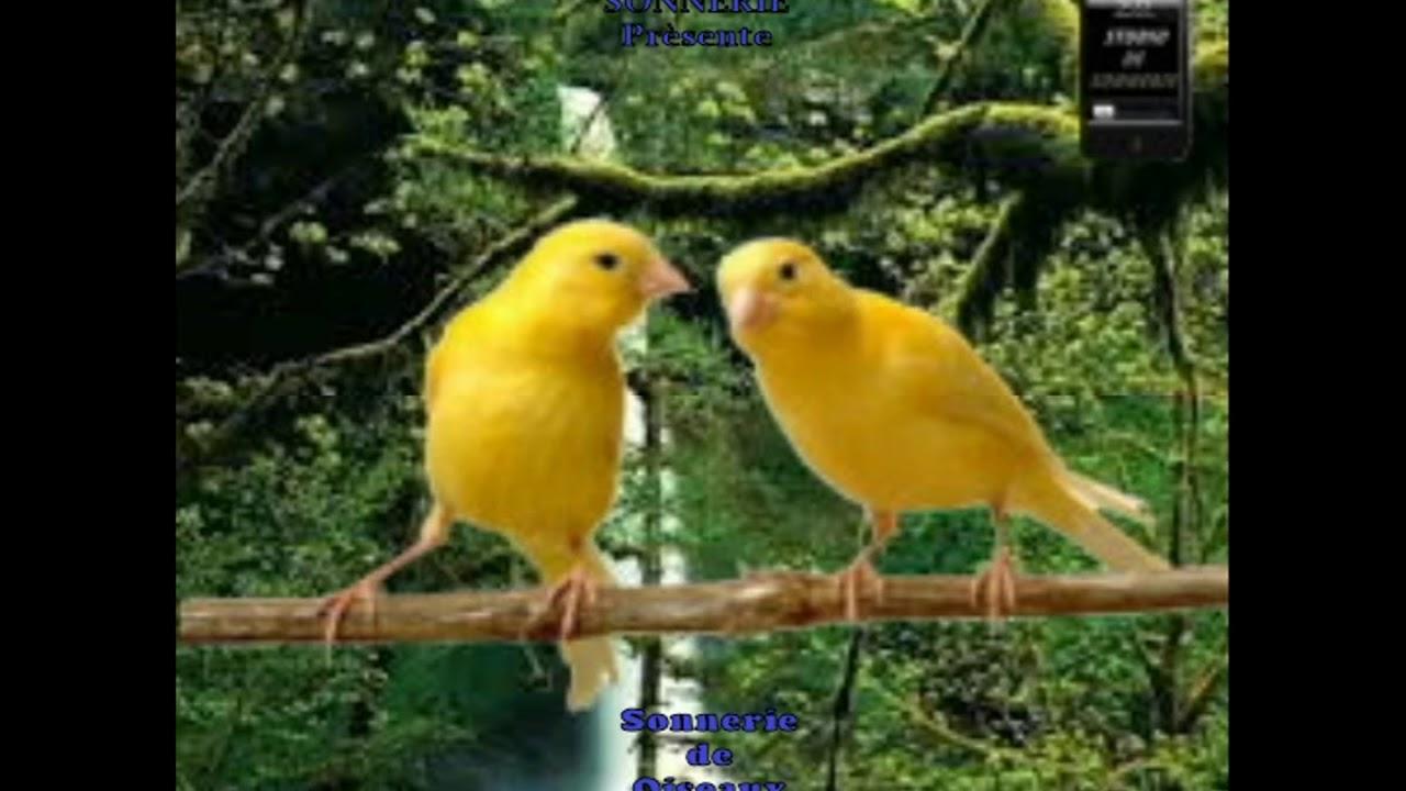 sonnerie canari
