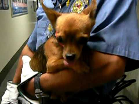 Shaking with Fear, Abandoned Tiny Applehead Chi (A1056950) at South Los Angeles Shelter