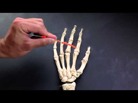 Metacarpals and Phalanges