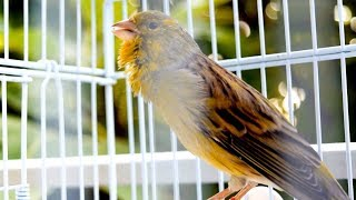 This is how a 90 pts Canary Timbrado sings after molting period