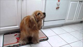 Cocker Spaniel  Lady Dancing.wmv