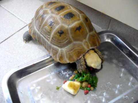 Elongated tortoise 2/2