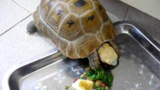 Elongated tortoise 2/2
