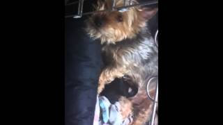 Yorkshire Terrier Pup Feeding