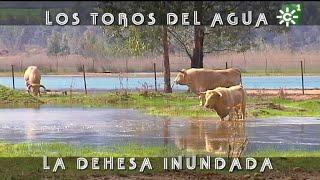 PGM 488 LOS TOROS en la dehesa inundada PRIETO DE LA CAL