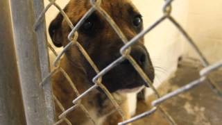 Mastiff Mix Boy Under 1 Year Old At Montgomery County Ac In Troy Nc (id#328)