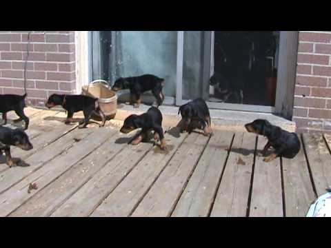 Doberman pups first time outside at 5 wks old