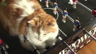 Самое новое видео с кошками Приколы во всю!