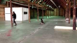 German Shepherd, Khaleesi, obedience training, sit stays down stays & jumps.