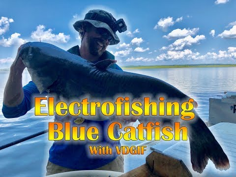 Blue Catfish Electrofishing With VDGIF On The Rappahannock River