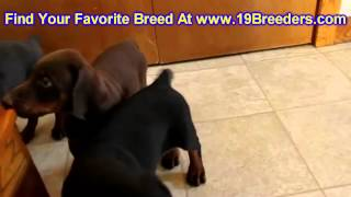 Doberman Pinscher, Puppies, For, Sale, In, Wichita, Kansas, Ks, Pittsburg, Hays, Liberal, Prairie Vi