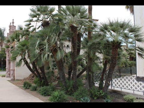 Future Exotics Trachycarpus Wagnerianus winterharte Palme