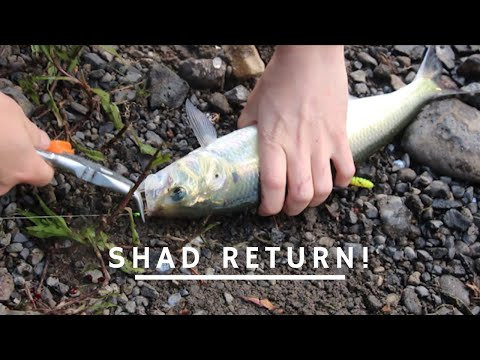 Shad Fishing On FIRE* How-To* | Columbia River Shad Fishing|