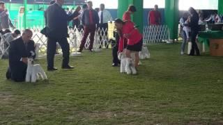 Schanuzer mini blanco dog show 2016