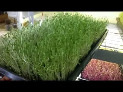Urban farming - Cilantro - super easy and clean.