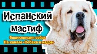 Испанский мастиф (Молоссы). Энциклопедия пород.