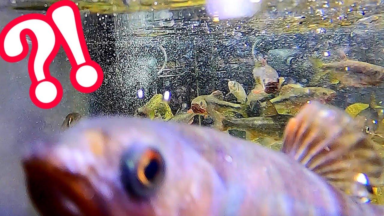 川魚の捕食シーンを水中で観察した結果…