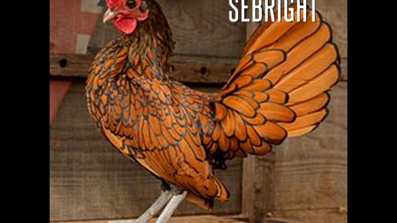 les races de poules les plus aim es et lev es au monde. Black Bedroom Furniture Sets. Home Design Ideas