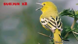 Gambar cover suara burung cipoh atau sirtu jantan cocok buat masteran mp3