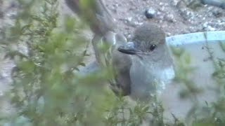 Spying on the Ash-Throated Flycatcher