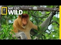 Proboscis Monkeys Jump Around | Paradise Islands
