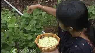 Jasmine cultivation : കുറ്റിമുല്ല കൃഷി