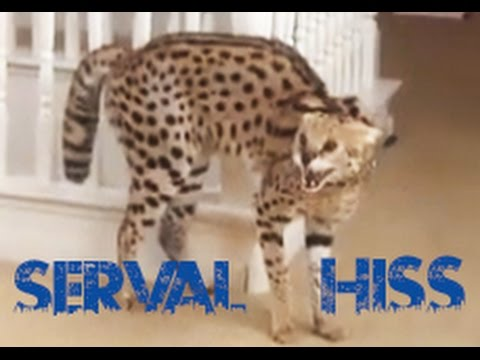 Serval Hissing!