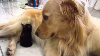 So Cute - Tiny Tortie Foster Kitten Falls Asleep Tucked Away In Dog