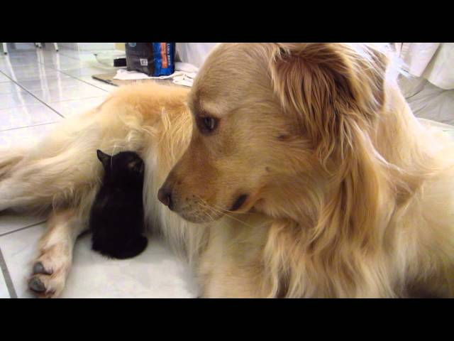 So Cute – Tiny Tortie Foster Kitten Falls Asleep Tucked Away In Dog's Stomach Fur – 3 Weeks Old