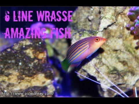 Six Line Wrasse: Amazing Fish