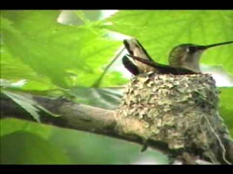 Ruby Throated Hummingbird Nest Building Youtube