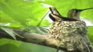 Ruby-Throated Hummingbird nest building