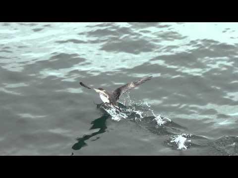 Maine Audubon Pelagic 2015