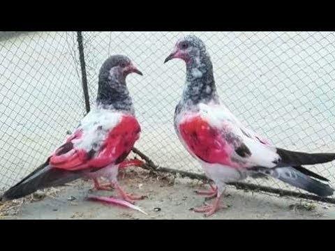 Highflyer baby pigeons for sale in Lahore Imran Jutt (0300 ...