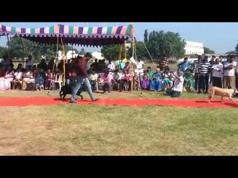 Karaikudi Dog Show 2016- Golden Retriever and Labrador- Show 1